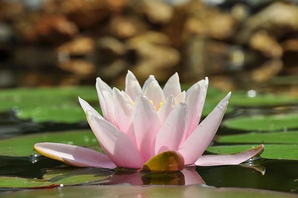 lotus COLOURBOX2711945