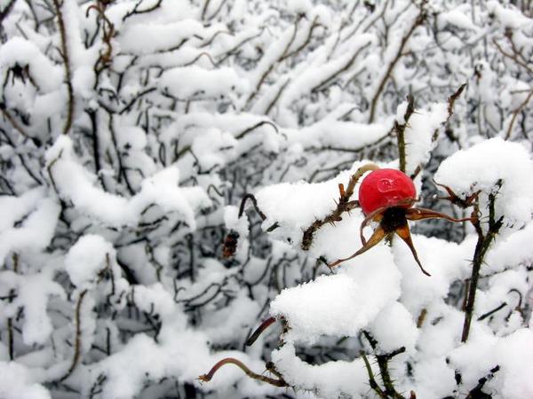 Vinterbusk   Carsten Madsen 2006  iStockphoto